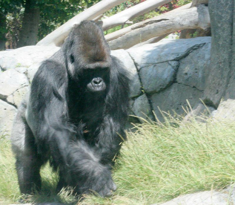 Gorilla 06.17.09