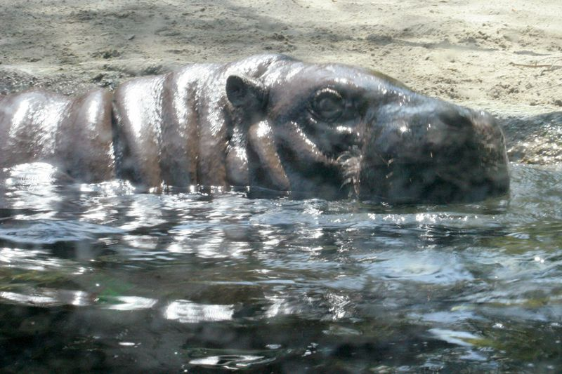 Mini hippo 06.17.09