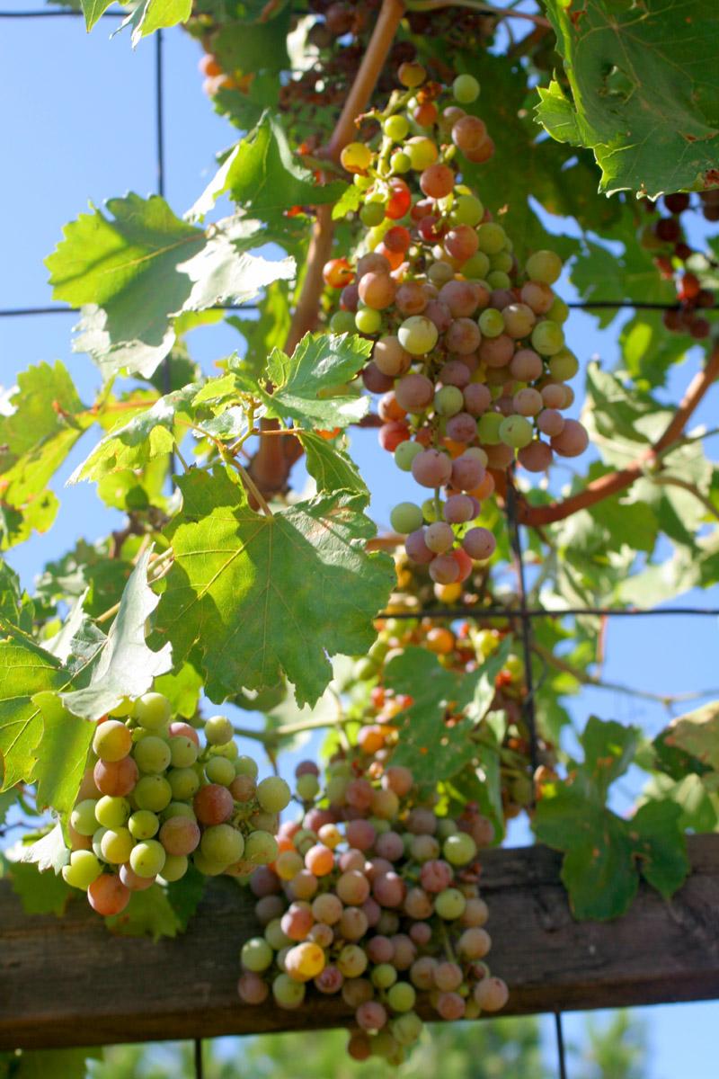 Grapes 06.27.09