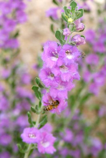 Desert_bees_080308