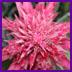 Aging_bromeliad_flower