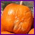 Pumpkins_at_cal_poly_062_1
